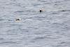 Polar_Bear_Male_Female_Swimming_Svalbard_2018_Norway_0010