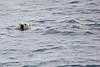 Polar_Bear_Male_Female_Swimming_Svalbard_2018_Norway_0017