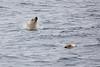 Polar_Bear_Male_Female_Swimming_Svalbard_2018_Norway_0015