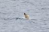 Polar_Bear_Male_Female_Swimming_Svalbard_2018_Norway_0004