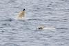 Polar_Bear_Male_Female_Swimming_Svalbard_2018_Norway_0009