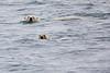 Polar_Bear_Male_Female_Swimming_Svalbard_2018_Norway_0013