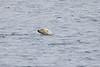 Polar_Bear_Male_Female_Swimming_Svalbard_2018_Norway_0003