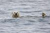Polar_Bear_Male_Female_Swimming_Svalbard_2018_Norway_0019