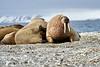 Walrus_Svalbard_2018_Norway_0269