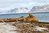Walrus_Svalbard_2018_Norway_0039