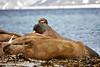 Walrus_Svalbard_2018_Norway_0153