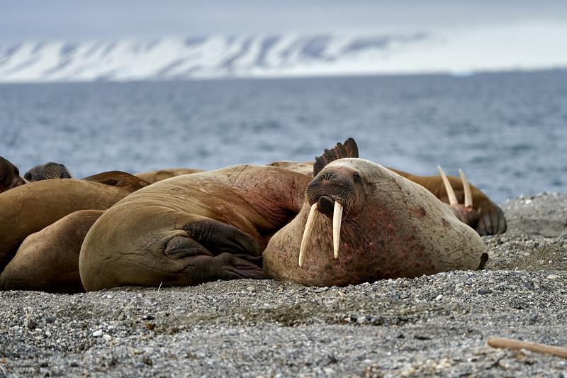 Walrus_Svalbard_2018_Norway_0281