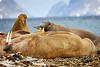 Walrus_Svalbard_2018_Norway_0180