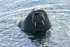 Walrus_Svalbard_2018_Norway_0353