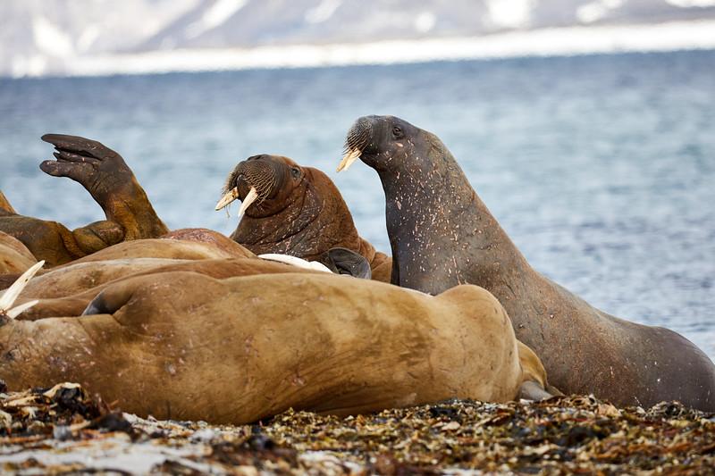 Walrus_Svalbard_2018_Norway_0138