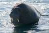 Walrus_Svalbard_2018_Norway_0351