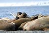 Walrus_Svalbard_2018_Norway_0332