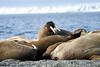 Walrus_Svalbard_2018_Norway_0330