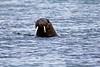 Walrus_Svalbard_2018_Norway_0081
