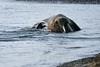 Walrus_Svalbard_2018_Norway_0328