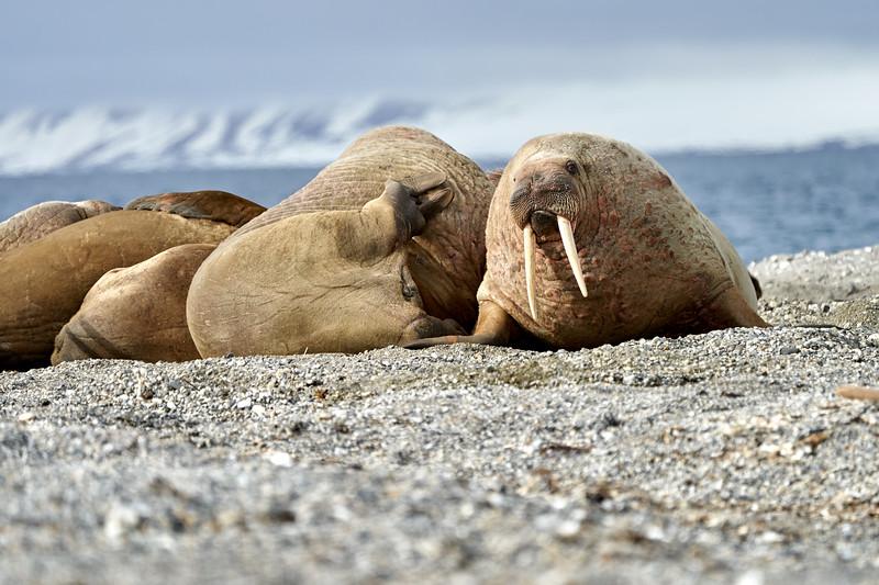 Walrus_Svalbard_2018_Norway_0270