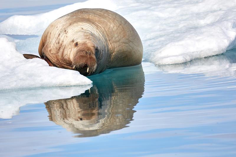 Walrus_Svalbard_2018_Norway_0231
