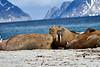 Walrus_Svalbard_2018_Norway_0252