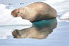 Walrus_Svalbard_2018_Norway_0226