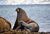 Walrus_Svalbard_2018_Norway_0161