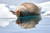 Walrus_Svalbard_2018_Norway_0225
