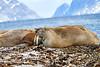 Walrus_Svalbard_2018_Norway_0248