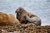 Walrus_Svalbard_2018_Norway_0156