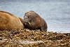 Walrus_Svalbard_2018_Norway_0177