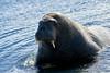 Walrus_Svalbard_2018_Norway_0390