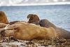 Walrus_Svalbard_2018_Norway_0130