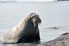 Walrus_Svalbard_2018_Norway_0445
