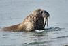 Walrus_Svalbard_2018_Norway_0319