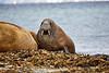 Walrus_Svalbard_2018_Norway_0173