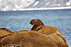 Walrus_Svalbard_2018_Norway_0017