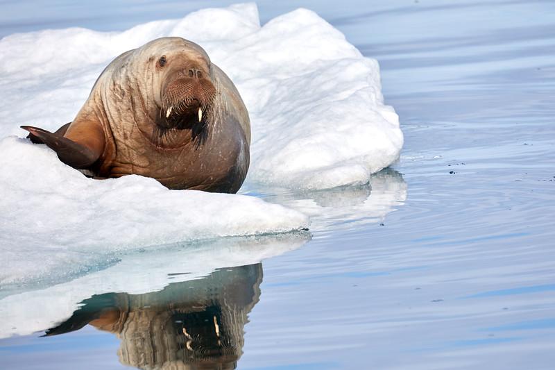 Walrus_Svalbard_2018_Norway_0241