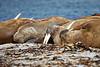 Walrus_Svalbard_2018_Norway_0064