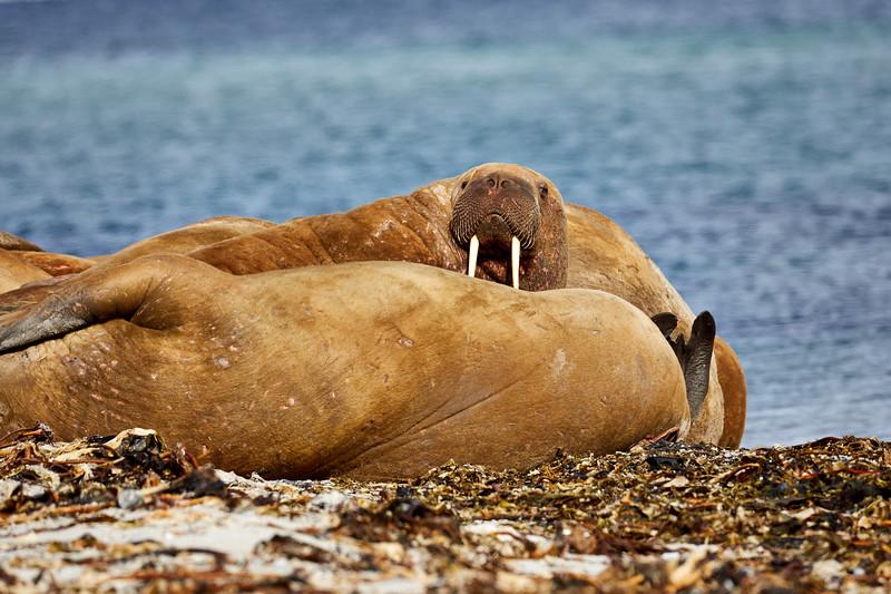 Walrus_Svalbard_2018_Norway_0022