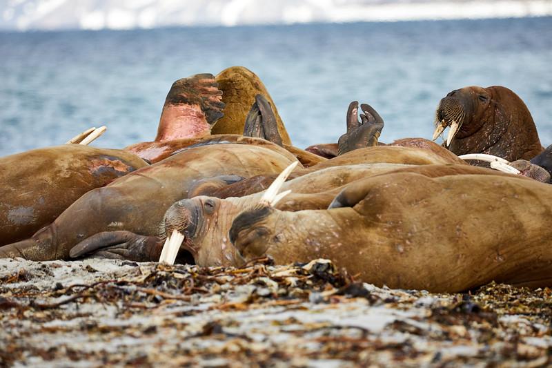 Walrus_Svalbard_2018_Norway_0132