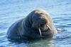 Walrus_Svalbard_2018_Norway_0419