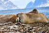 Walrus_Svalbard_2018_Norway_0246