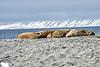 Walrus_Svalbard_2018_Norway_0258