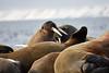 Walrus_Svalbard_2018_Norway_0218