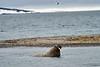 Walrus_Svalbard_2018_Norway_0263