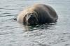 Walrus_Svalbard_2018_Norway_0448
