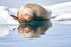 Walrus_Svalbard_2018_Norway_0223