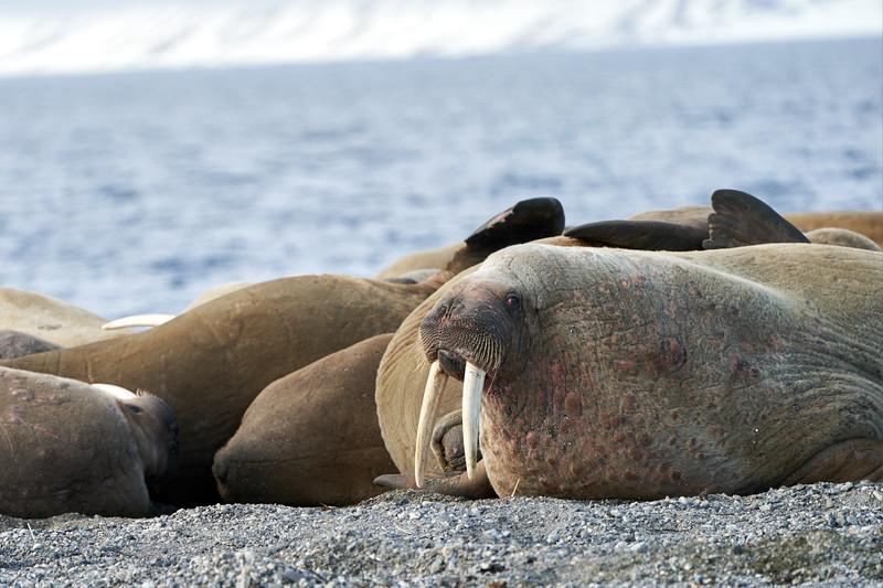 Walrus_Svalbard_2018_Norway_0323