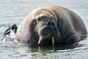 Walrus_Svalbard_2018_Norway_0451