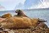 Walrus_Svalbard_2018_Norway_0183