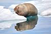 Walrus_Svalbard_2018_Norway_0229